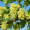 wine frascati